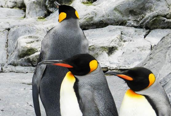 penguines