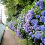 飛鳥山公園あじさいの小径を歩く 東京散歩・北区。